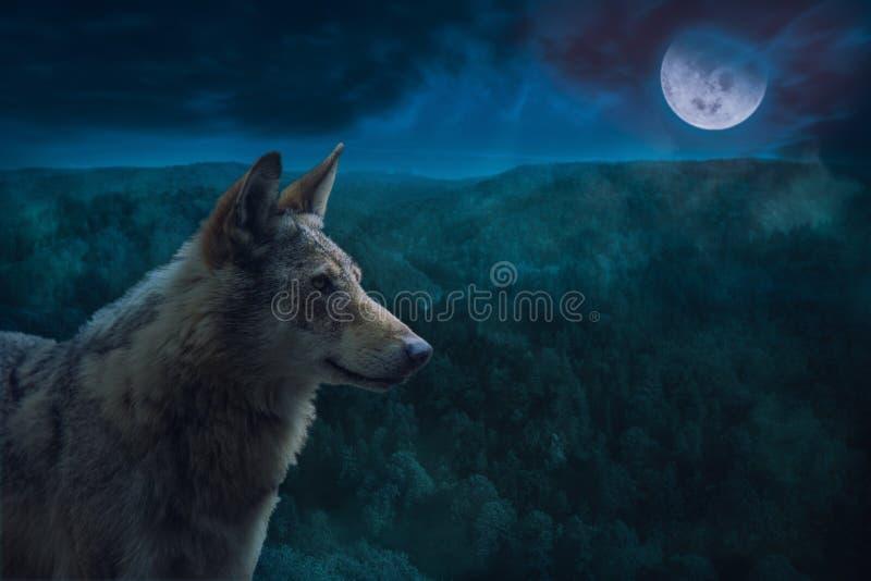 灰色阿尔法狼在满月夜期间在原野 免版税库存照片