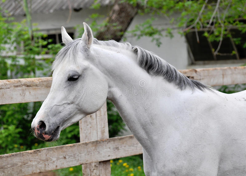 Download 灰色阿拉伯公马画象 库存图片. 图片 包括有 纯血种马, 投反对票, 背包, arabel, 好奇, beauvoir - 72353947