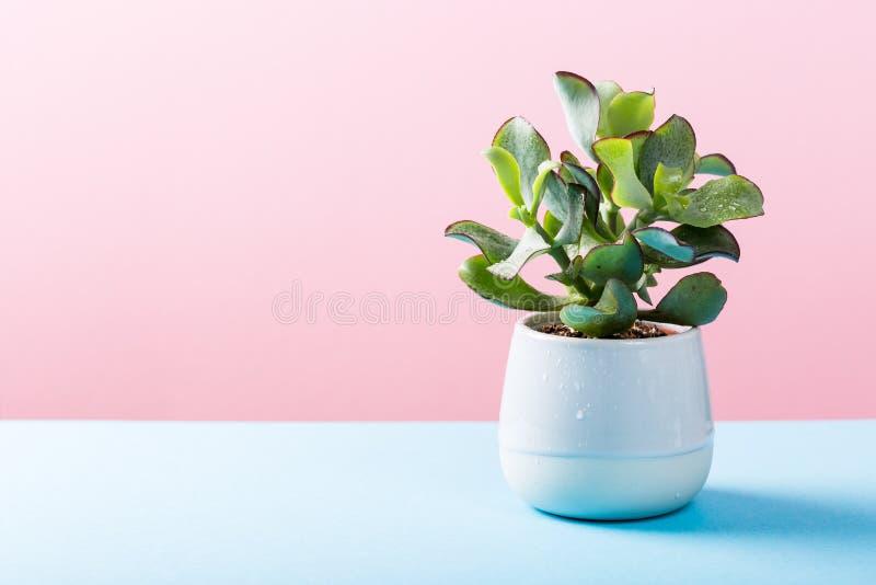 灰色陶瓷罐的室内植物多汁植物 图库摄影