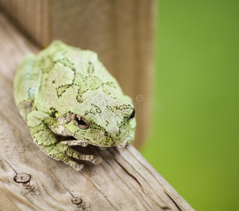 灰色雨蛙坐露台甲板的栏杆 免版税库存照片
