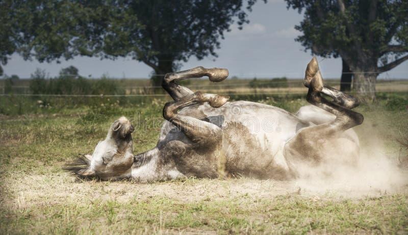 灰色马在他的,辗压和踢说谎在牧场地背景 愉快的马生活方式 免版税库存照片