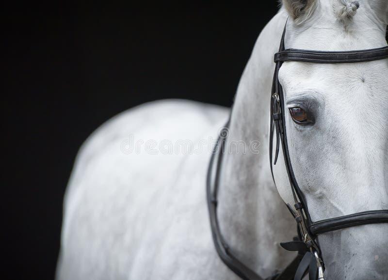 灰色马画象在黑背景的 免版税图库摄影