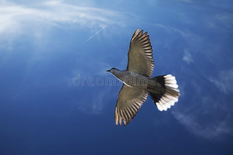 灰色鸽子飞行 免版税库存照片