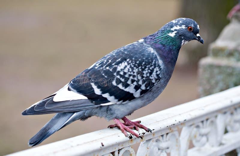 灰色鸽子鸟特写镜头 库存照片