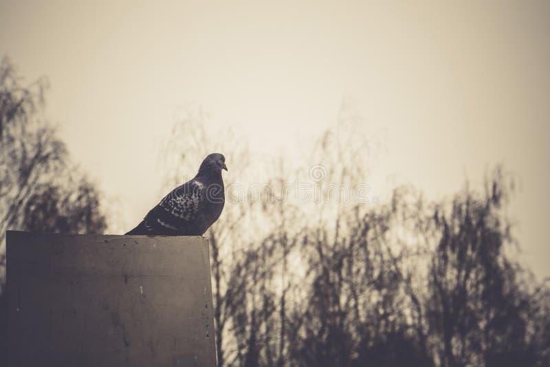 灰色鸽子画象  免版税库存图片