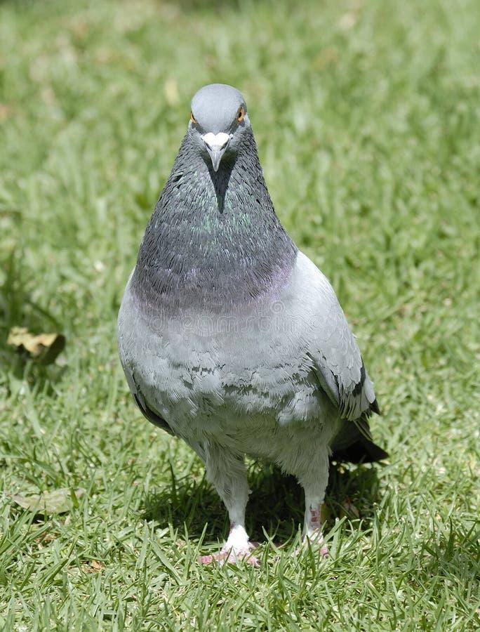 灰色鸽子 库存照片