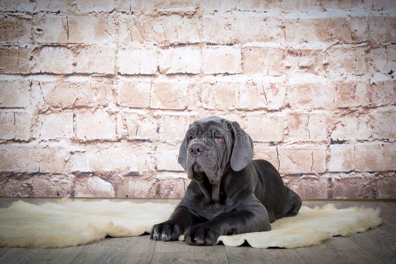 灰色,黑和棕色小狗养殖Neapolitana Mastino 训练狗从童年的训犬者 库存照片