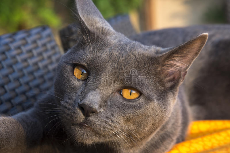 灰色Chartreux猫 库存照片