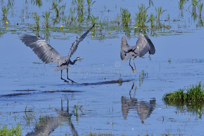 灰质的Ardea,灰色苍鹭, 库存图片