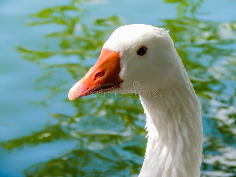 灰雁在外形的分析服务公司分析服务公司,西部春天筑成池塘,澳大利亚 免版税库存照片
