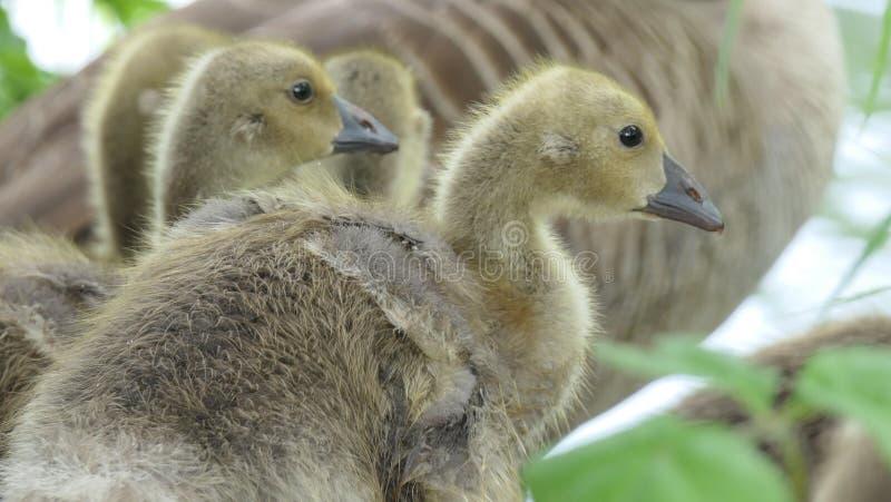 灰雁x加拿大鹅幼鹅 图库摄影