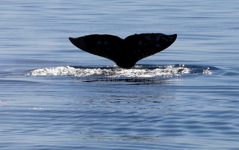 灰鲸科尾巴比目鱼 免版税库存图片