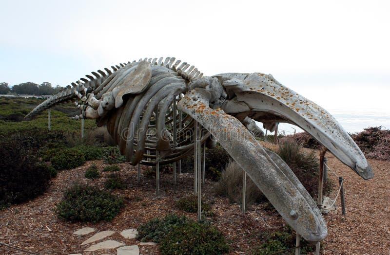 灰鲸科骨骼 库存照片
