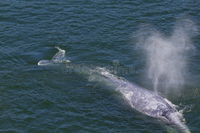 灰鲸科 库存图片