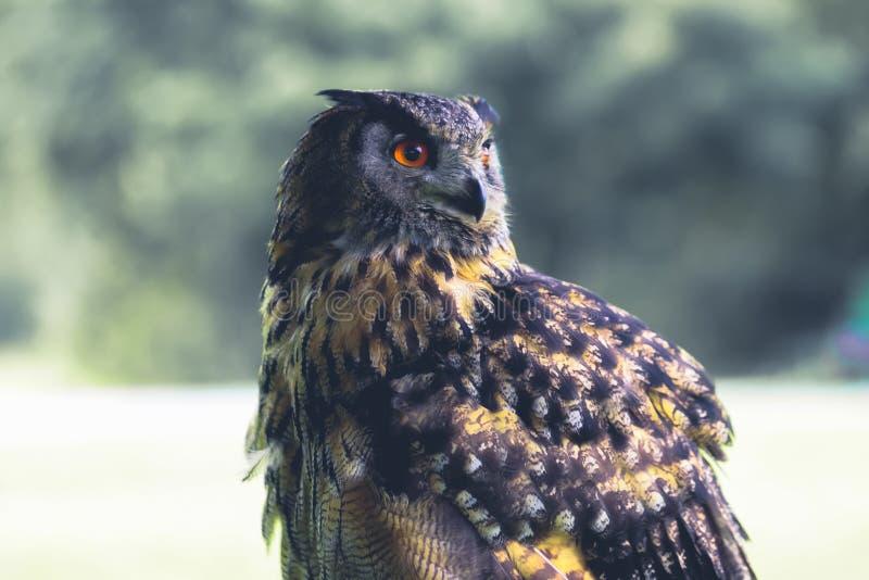 灰鸮智慧的象征。灰鸮智慧的象征。大黄眼睛。鸟 图库摄影