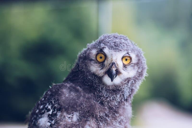 灰鸮智慧的象征。灰鸮智慧的象征。大黄眼睛。鸟 库存图片