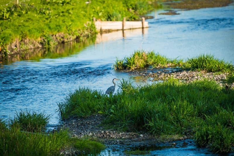 灰鹭站在贝拉河 免版税图库摄影