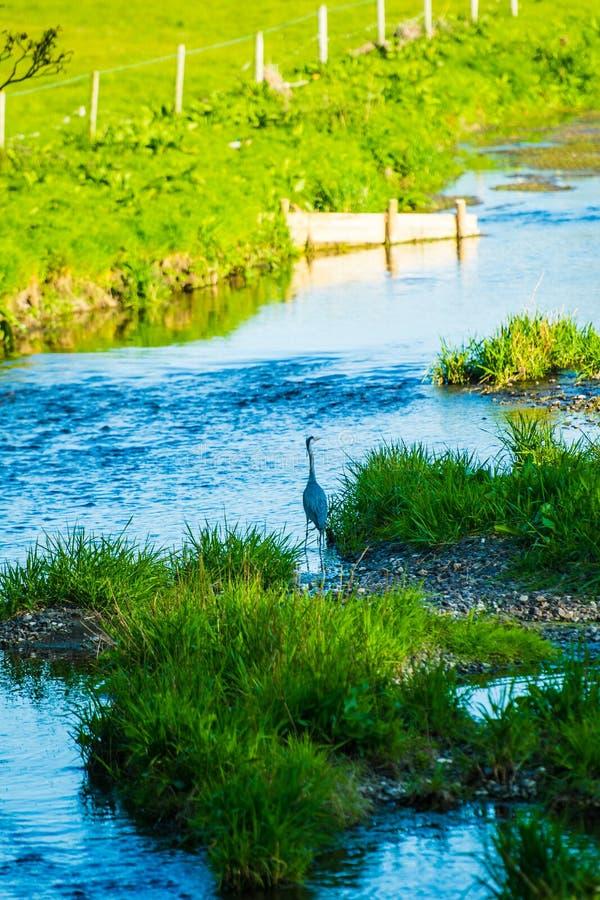 灰鹭站在贝拉河 库存图片