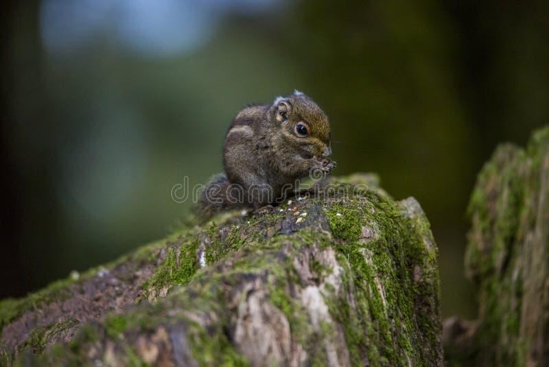 灰鼠吃着坚果 库存照片