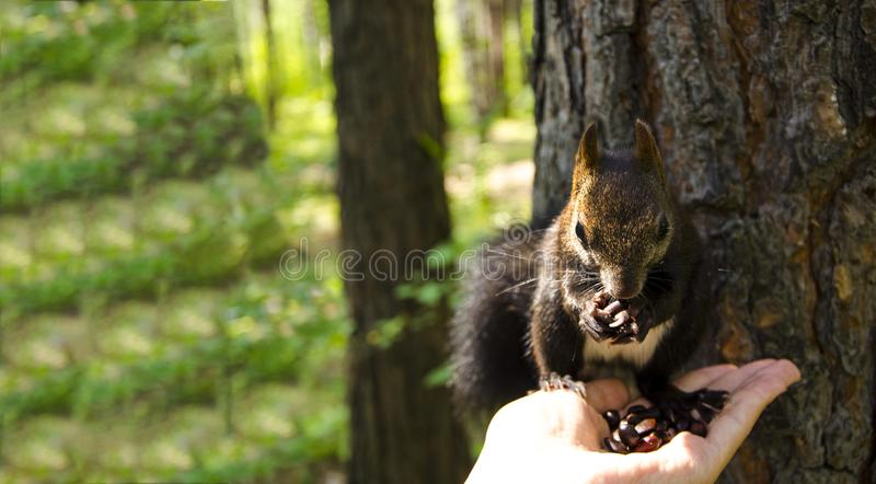 灰鼠吃 灰鼠采取从他的手的坚果 图库摄影