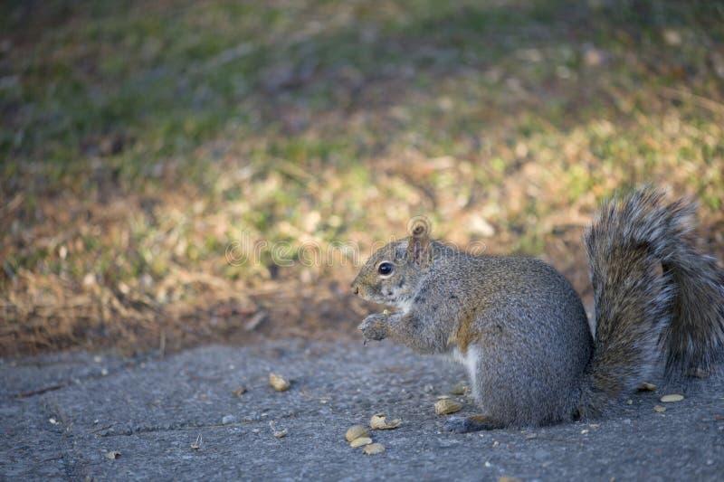 Download 灰鼠吃 库存图片. 图片 包括有 分蘖性, 表面, ,并且, 空白, 本质, 蓬松, 灰鼠, 通配, 螺母 - 30336865