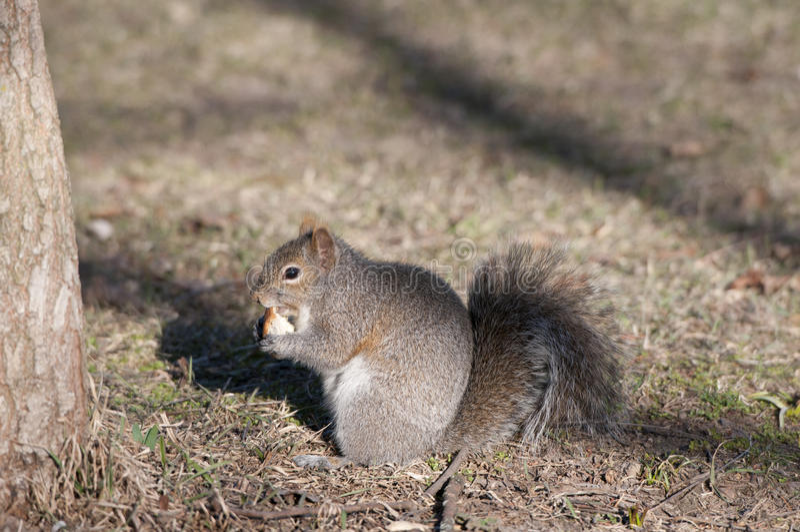 Download 灰鼠吃 库存图片. 图片 包括有 ,并且, 户外, 分蘖性, 灰色, 食物, 蓬松, 红色, browne - 30336919
