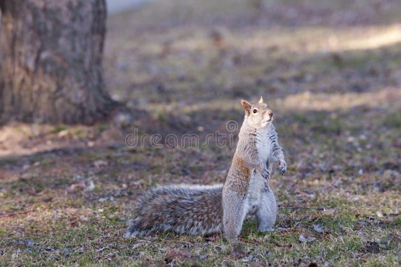 Download 灰鼠吃 库存照片. 图片 包括有 啮齿目动物, 木头, 灰色, browne, 茴香, 哺乳动物, 毛皮 - 30337112