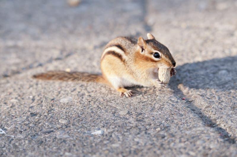 Download 灰鼠吃 库存图片. 图片 包括有 分蘖性, 提供, 关闭, 灰色, 花生, 宠物, ,并且, 食物, 本质 - 30337187