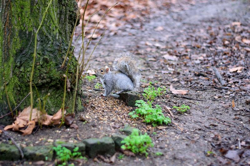 灰鼠和树 库存照片
