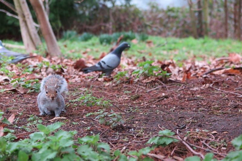 灰鼠和鸽子在公园 库存图片