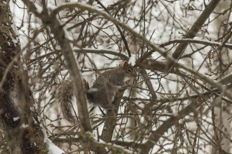 灰鼠在一棵多雪的树停留 免版税库存图片