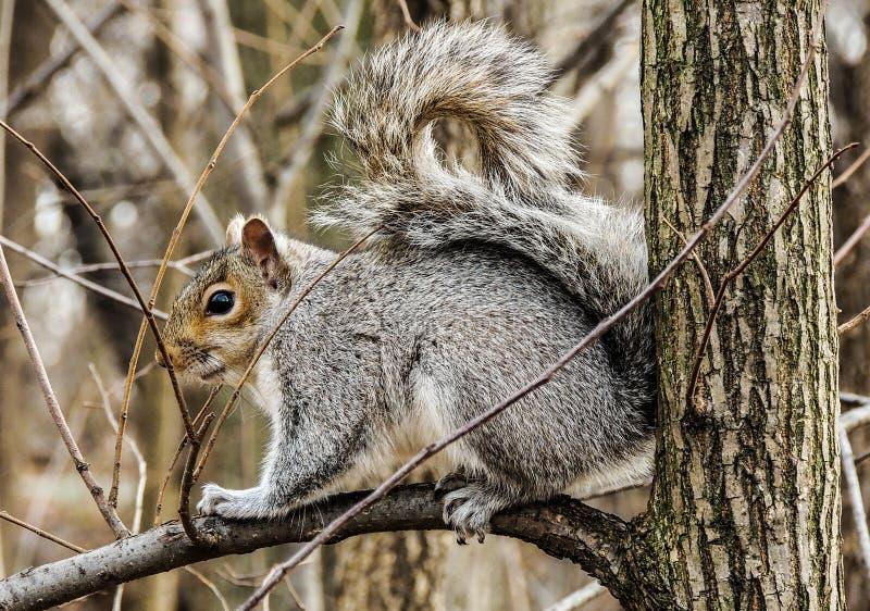 灰鼠在中央公园 免版税库存图片