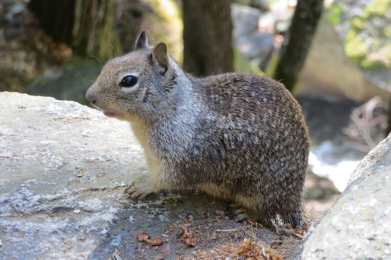 灰鼠在优胜美地国家公园 库存照片
