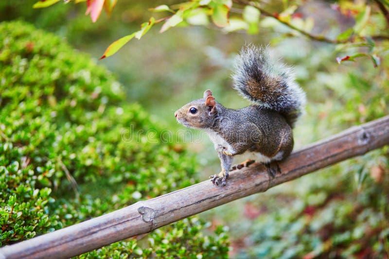 灰鼠在日本庭院里在旧金山,加利福尼亚,美国 库存照片