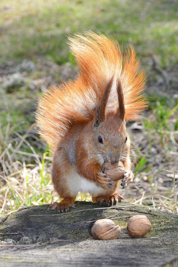 灰鼠在森林里。 免版税库存图片