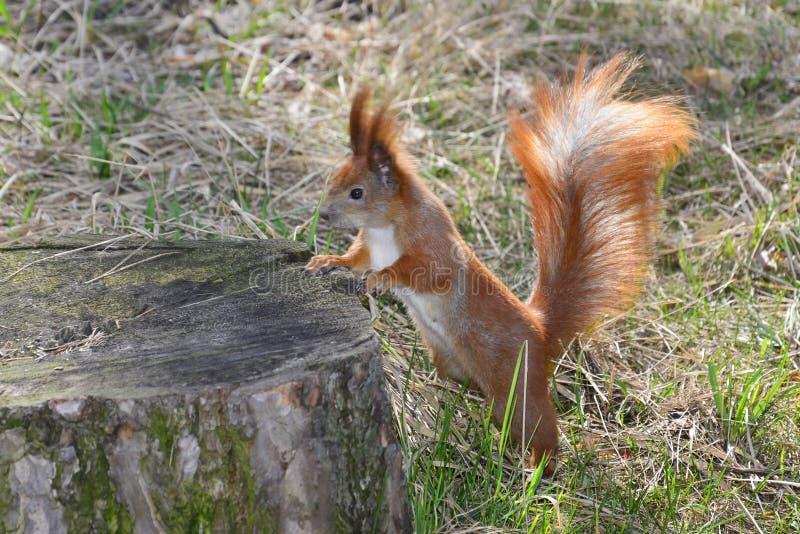 灰鼠在森林里。 免版税图库摄影