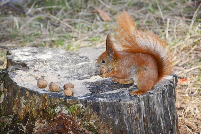 灰鼠在森林里。 免版税库存照片