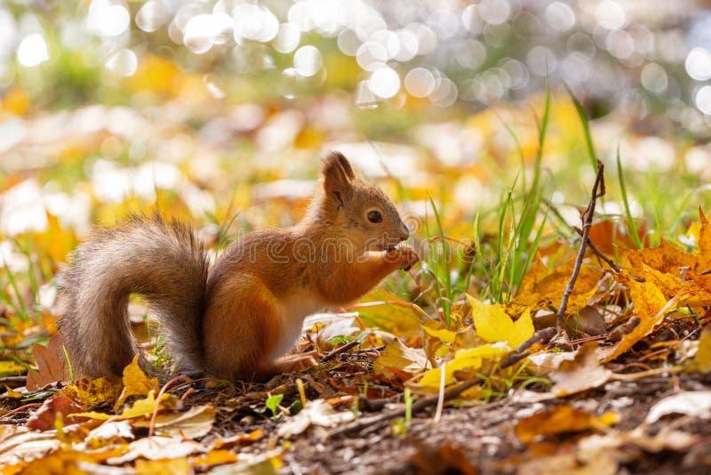 灰鼠在秋天森林里 免版税库存图片