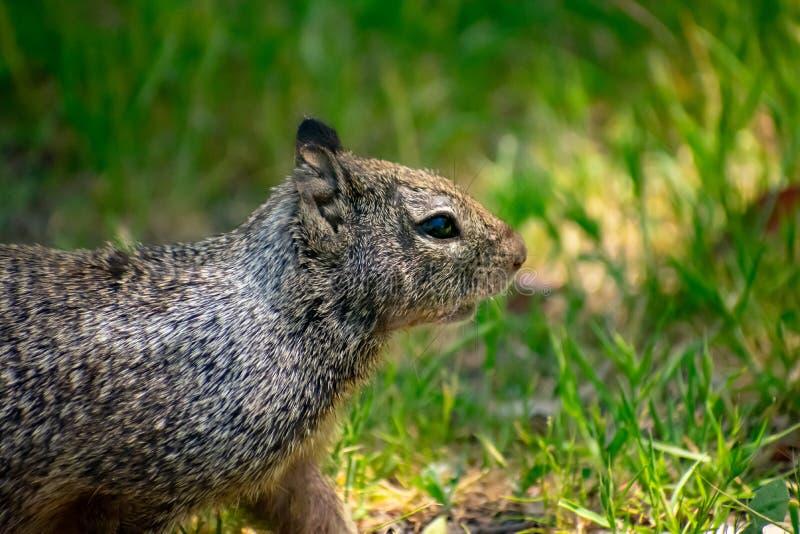 灰鼠在美好的草甸地区 免版税图库摄影