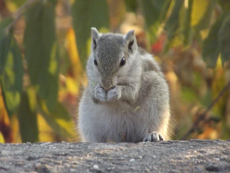 灰鼠在老虎王国 图库摄影