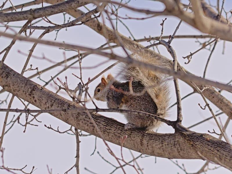 灰鼠坐在树的-松鼠科动物 免版税库存图片