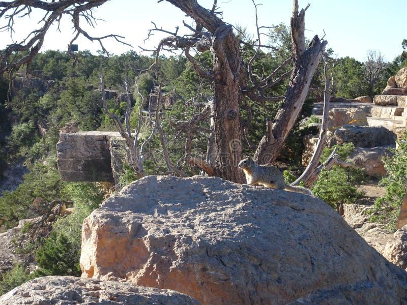 灰鼠坐观看在大峡谷的石头 免版税库存照片