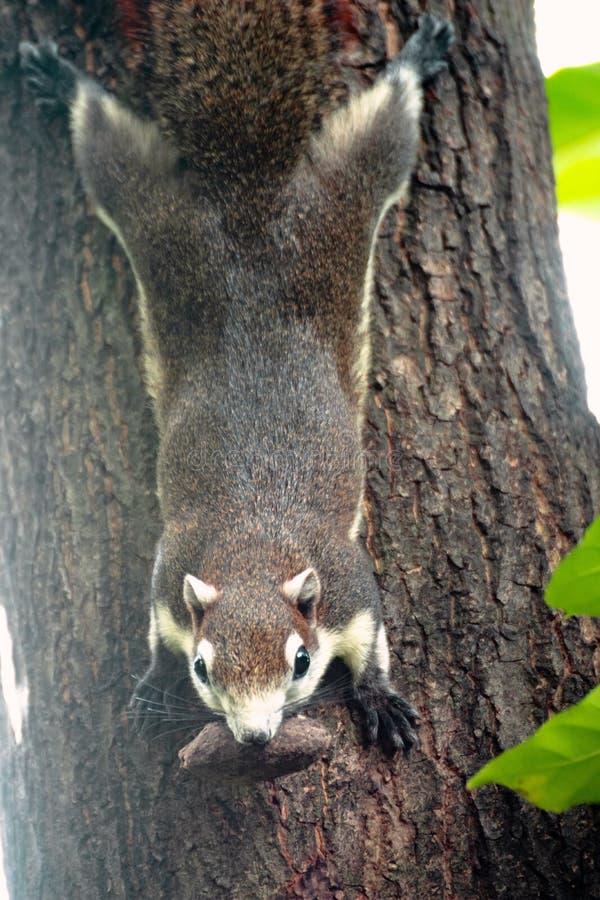 灰鼠是家庭松鼠科动物的成员 图库摄影