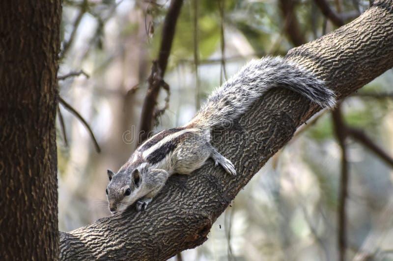 灰鼠是家庭松鼠科动物,包括小或中等大小啮齿目动物的家庭的成员 灰鼠家庭包括 免版税库存图片