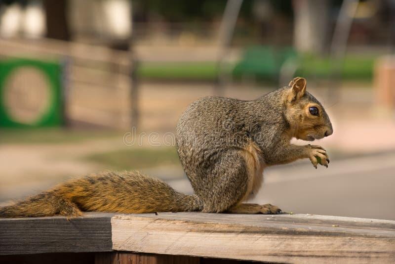 灰鼠松鼠科动物有操场背景 库存照片