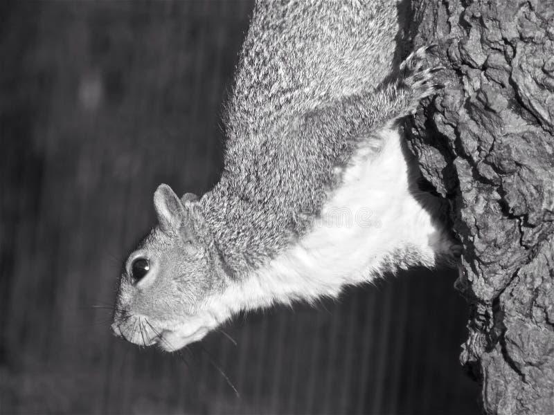 灰鼠 摄政公园 伦敦 图库摄影