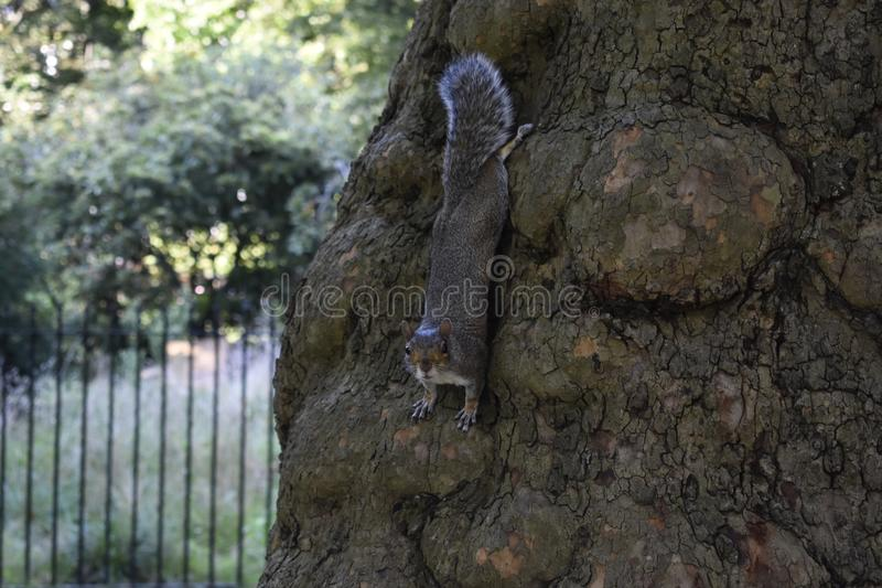 灰鼠-松鼠科动物-自然 免版税库存图片