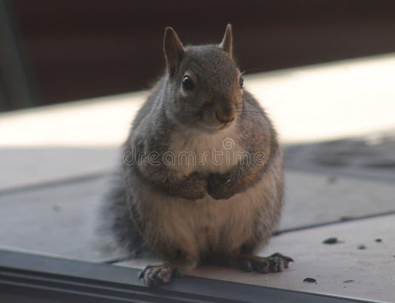 灰鼠 库存照片