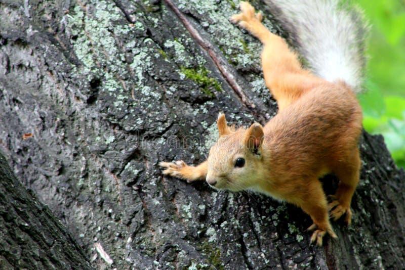 Download 灰鼠 库存照片. 图片 包括有 通配, 灰鼠, 野生生物, 公园, 红色, 森林, 敌意, 哺乳动物, 开会 - 72365290