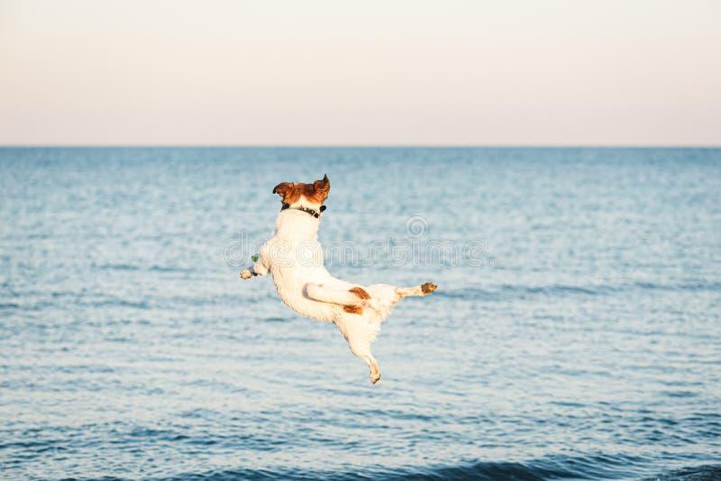 灵活狗跳高捉住飞盘在海滩 库存图片